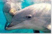 Jaringan Informasi pada Lumba-Lumba Mengungguli Internet